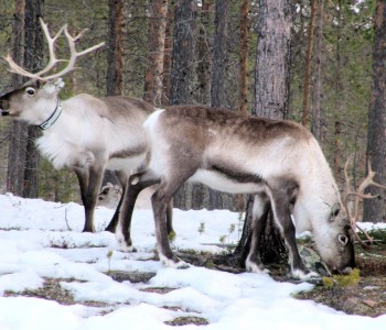 reindeer-697283_1920